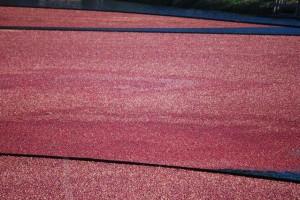 Cranberry harvest 3